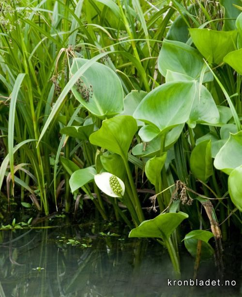 Myrkongle Calla palustris Bog Arum Myrkongle